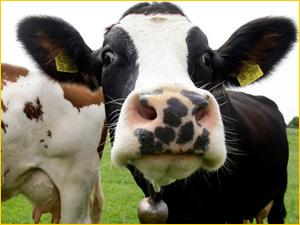 Коровий перегной лучшее удобрение