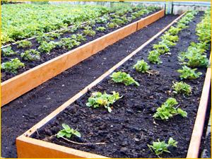 Грядки на даче с хорошим урожаем